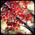 NATURE - Japanese Maple